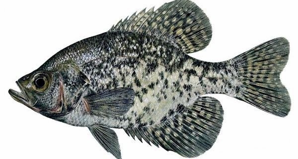 Crappie messages issued on invasive fish species for Crappie fish facts